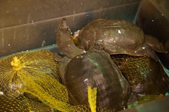 Tartaruga viva ( mas não por muito tempo... / Live turtle( but not for very long...)